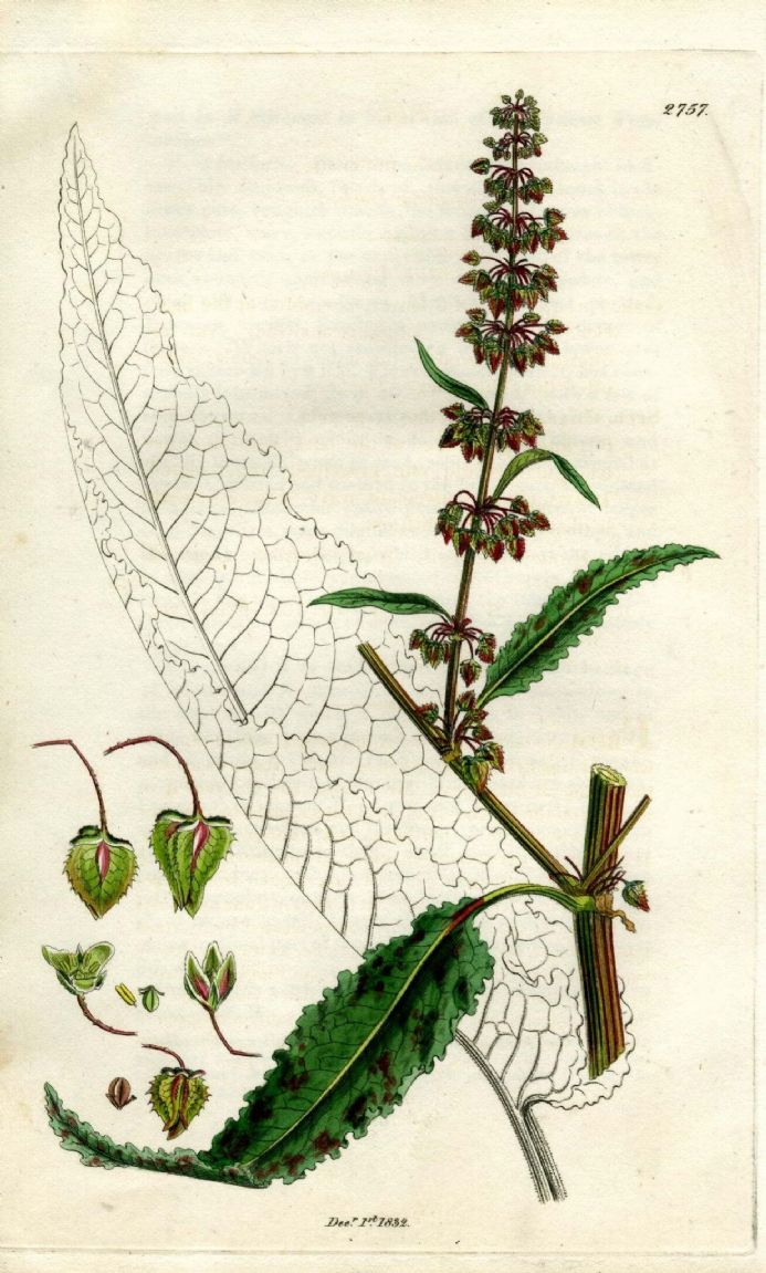1834 BOTANICAL Rumex Meadow Dock ANTIQUE PRINT Hooker Sowerby Hand Color Flower